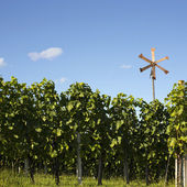 Vineyard background — Stock Photo