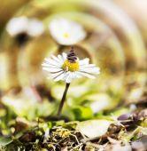 Daisy flower with balanced stones. — Stock Photo
