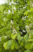 Horse chestnut blooming — Stock Photo