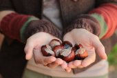 Conkers in hands — Stock Photo