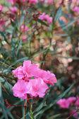 Pink flowers — Stockfoto