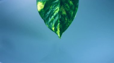 Droplets falling off leaf — Stock Video