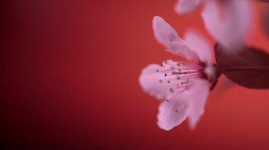 Pink cherry blossom — Stock Video