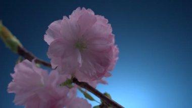 Kwiat wiśni — Wideo stockowe