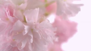 Water drops hitting cherry blossom — Stock Video