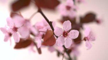 Flor de cerezo rosa — Vídeo de Stock