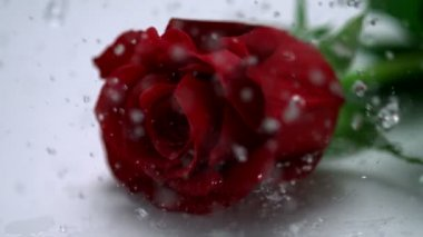 Rain drops falling on red rose — Stock Video