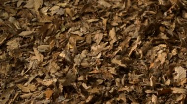 Blowing pile of dried leaves — Stockvideo