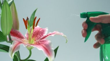 Spraying water on flower lily — Stock Video