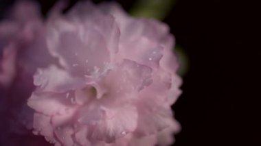 Japanese Cherry flowers — Stock Video
