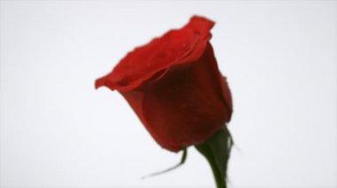 Water splashing on red rose — Stock Video