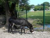 Black  donkey in field — Stock Photo