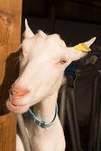 Ewes on a farm — Stock Photo