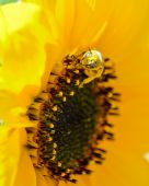 Bee covered in pollen on sunflower — Stock Photo