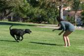 Labrador running to master — Stock Photo