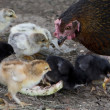 Постер, плакат: A hen is guarding her newly born chickens