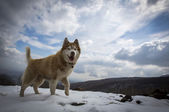 A Husky is playing in the snow in the mountain — Stock Photo