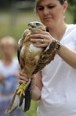 Young Long-legged Buzzard in the hand of an environmentalist — Stock Photo