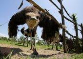 Ostriches in a farm — Stock Photo