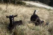 A goat is laying at the grass next to its owner — Стоковое фото