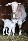 A goatling with its mother in a barn — Stock Photo