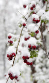 Common hawthorn under the snow — Stock Photo