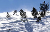Spruce trees wind-blown on a covered by snow mountain hill — Stock Photo