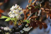 Blooming chestnut with brown and green leaves in the autumn — Stock Photo