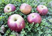 Red apples over grass — Stock Photo