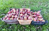 Crates of apples over grass — Stock Photo