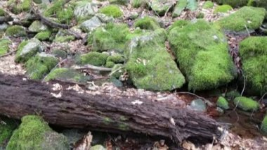 Falled rotting tree mossy rocks — Stock Video