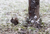 Squirrel in the snow next to a tree — Stock Photo