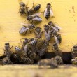 Honey bees in yellow beehive — Stock Photo #70746801
