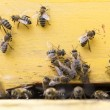 Honey bees in yellow beehive — Stockfoto #70746813