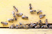Honey bees in yellow beehive — Stock Photo