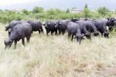 Búfalos em uma fazenda de gado leiteiro — Fotografia Stock
