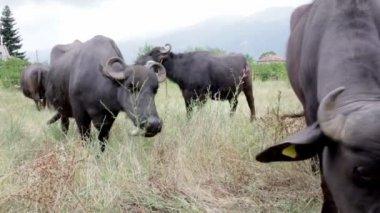 Buffalos in a dairy farm — Stock Video