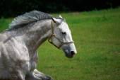 Running horse — Stock Photo