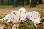 Three husky puppy — Stock Photo