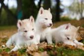 Trzech szczeniak husky — Zdjęcie stockowe