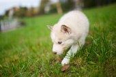 Husky puppy on a green grass — Stock Photo