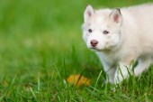 Husky puppy on a green grass — Stock Photo