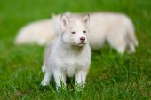 Husky puppy on a green grass — Foto Stock