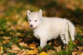 Husky opuppy — Stock Photo