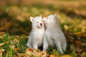 Two husky puppy — Stock Photo