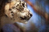 Portrait Snow Leopard — Stock Photo