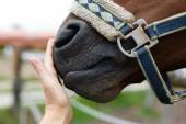 Muzzle of horse and human hand — Stock Photo