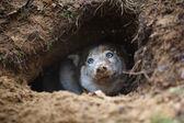 Husky in a hole — Foto de Stock