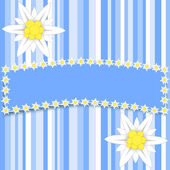 Edelweiss flowers on light blue stripes with a large copy space — Zdjęcie stockowe