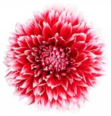 Dahlia, red, white colored flower head. Background — Stock Photo